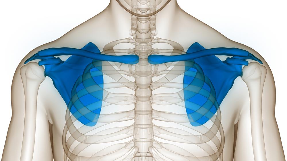 Human,Skeleton,System,Pectoral,Girdle,(shoulder,Girdle),Anatomy.,3d